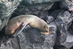 Het Eiland van de Galapagos van de bontzeeleeuw stock foto's