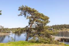 Het eiland van Valaam Kust van de baai pijnboom stock afbeeldingen
