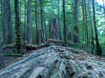 Het eilandbos van Vancouver stock afbeeldingen
