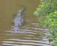 Het eilandgator van Amelia stelt een dreigend gezicht voor aangezien het dicht bij de rivierbank zwemt stock afbeeldingen