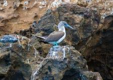 Het het Eilandlandschappen en Wild van de Galapagos royalty-vrije stock afbeelding