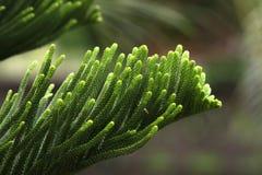 Het eilandpijnboom van Nolfolk Royalty-vrije Stock Foto's