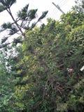 Het Eilandpijnboom van Norfolk stock afbeeldingen