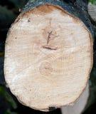 Het eind van de haagbeukboom stock afbeelding