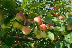 In het eind van de zomer - de appelen zijn klaar stock afbeelding