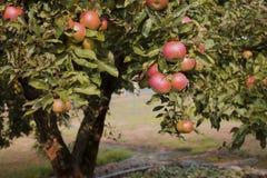 Het eind van de zomer en de appelen zijn rood en zoet De tuinen zijn volledig van appelen stock fotografie
