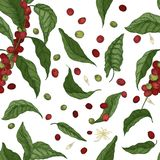 Het elegante botanische naadloze patroon met koffieboom vertakt zich, gaat weg, bloeit en vruchten op witte achtergrond naughty stock illustratie