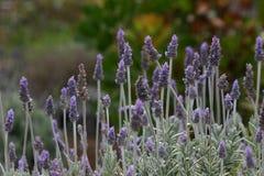 Het Engelse Gebied van de Lavendel Stock Foto's