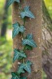 Het Engelse Ivy Hedera-schroef groeien op een boom stock foto's