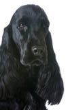 Het Engelse portret van de Cocker-spaniël Royalty-vrije Stock Foto