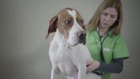 Het Engelse portret van de Wijzerhond in veterinaire kliniek De veterinaire vrouw maakt omhoog een medische chack van een hond me stock footage