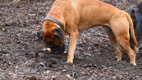 Het Engelse ras van de Mastiffhond stock footage