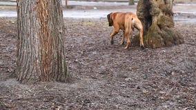 Het Engelse ras van de Mastiffhond stock videobeelden