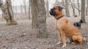 Het Engelse ras van de Mastiffhond stock video