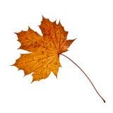 Het enige Blad van de Herfst Stock Foto's