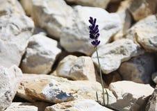 Het enige eenzame blauwe bloem groeien in de stenen in bergen Stock Afbeelding