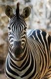 Het enige gestreepte lopen van de dierentuin royalty-vrije stock foto's