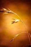 Het enige Gras van de Tarwekiem. Stock Afbeeldingen