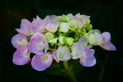 Het enige Hydrangea hortensiabloem Ontspruiten Stock Afbeeldingen