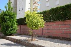 Het enige jonge citrusboom groeien dichtbij de muur van de stadssteen stock fotografie