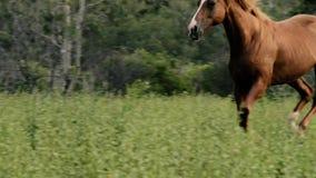 Het enige paard galopperen stock footage
