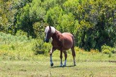 Het enige Wilde Spaanse Mustang zwerft Vrij in Corolla, NC stock foto's