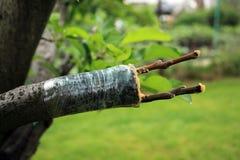 Het enten van appelboom in gespleten gebruikende knipsels royalty-vrije stock afbeeldingen