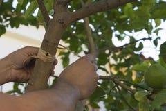 Het enten van Citroenbomen Stock Foto's
