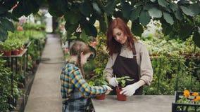 Het ernstige kind helpt haar moeder in serre het bewegen grond in pot die voor groene installaties geven en aan haar ouder spreke stock videobeelden