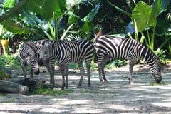 Het Eten drie Zebras Royalty-vrije Stock Foto's