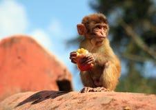 Het eten van aap stock afbeelding