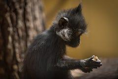 Het eten van aap Royalty-vrije Stock Foto's