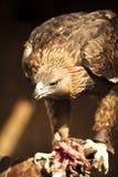 Het eten van adelaar stock afbeelding