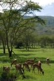 Het eten van antilopen Royalty-vrije Stock Fotografie