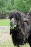 Het eten van Bactrische kameel Royalty-vrije Stock Fotografie