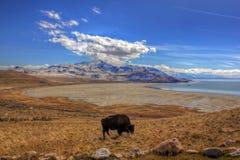 Het eten van buffels Royalty-vrije Stock Foto's