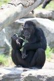 Het eten van de aap Stock Afbeeldingen