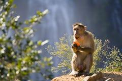 Het Eten van de aap Royalty-vrije Stock Afbeeldingen