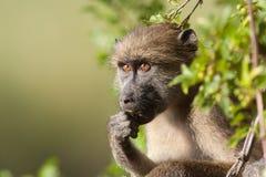 Het Eten van de baviaan Stock Foto