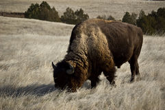 Het eten van de bizon Royalty-vrije Stock Afbeelding