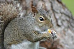 Het Eten van de eekhoorn Stock Fotografie