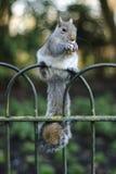Het eten van de eekhoorn Stock Afbeeldingen