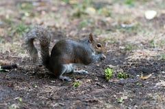 Het eten van de eekhoorn Royalty-vrije Stock Afbeelding