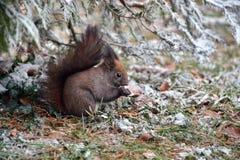 Het eten van de eekhoorn Stock Foto