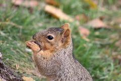 Het eten van de eekhoorn Royalty-vrije Stock Fotografie