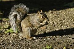 Het eten van de eekhoorn Royalty-vrije Stock Afbeeldingen