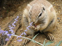 Het eten van de eekhoorn Royalty-vrije Stock Foto