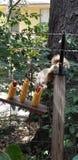 Het eten van de eekhoorn stock afbeelding