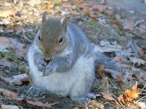 Het eten van de eekhoorn langs Parco del Valentino stock foto
