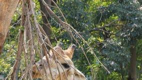 Het eten van de Giraf stock video